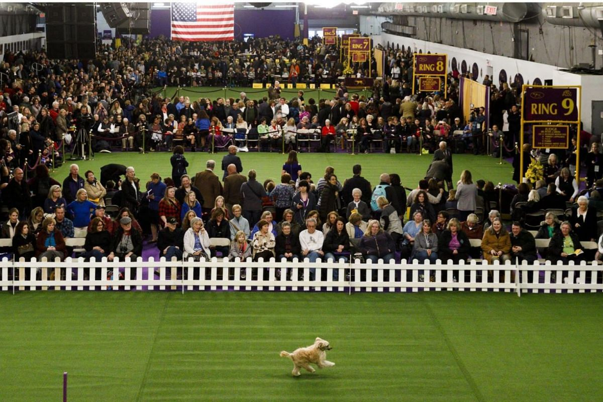 A Chinese Crested Powderpuff named Lars performs during an obedience demonstration.