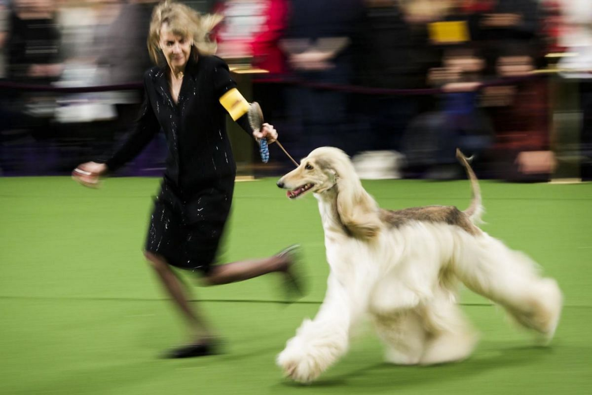 An Afghan Hound competing alongside its handler.
