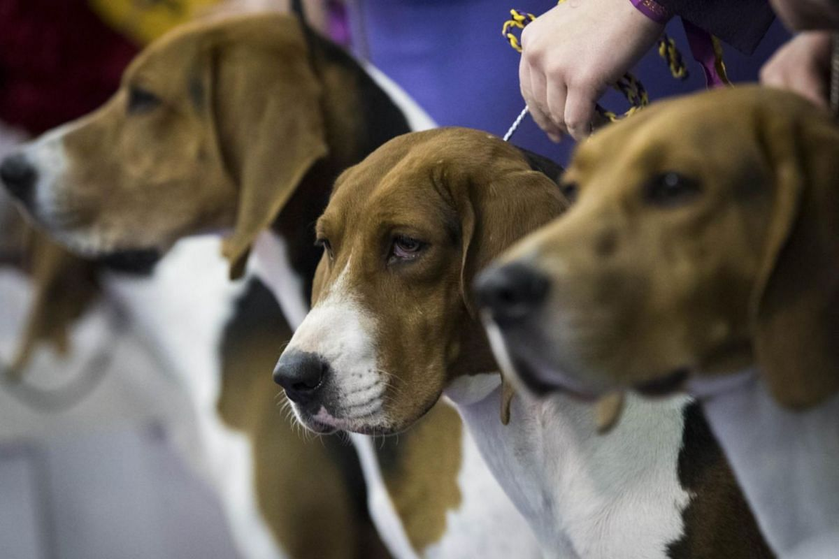 Winning Treeing Walker Coonhounds posing for a group picture.