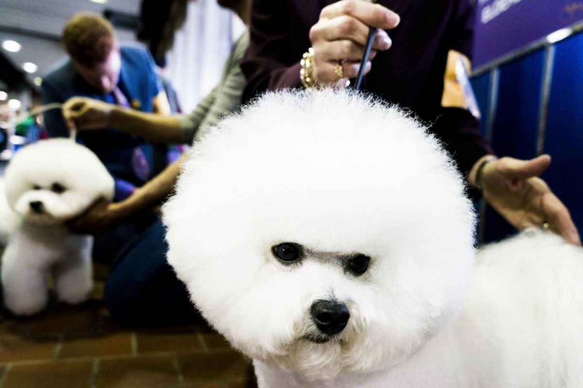 Bichon Frises being prepared for judging at the dog show.