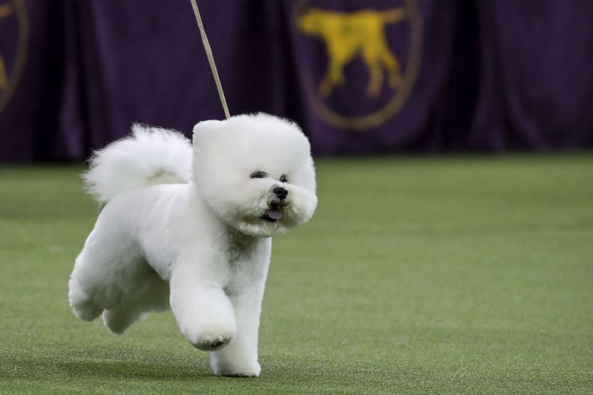 Best in Show winner Flynn, a Bichon Frise, competes in the finals of the 142nd Westminster Kennel Club Dog Show at The Piers on Feb 13, 2018.