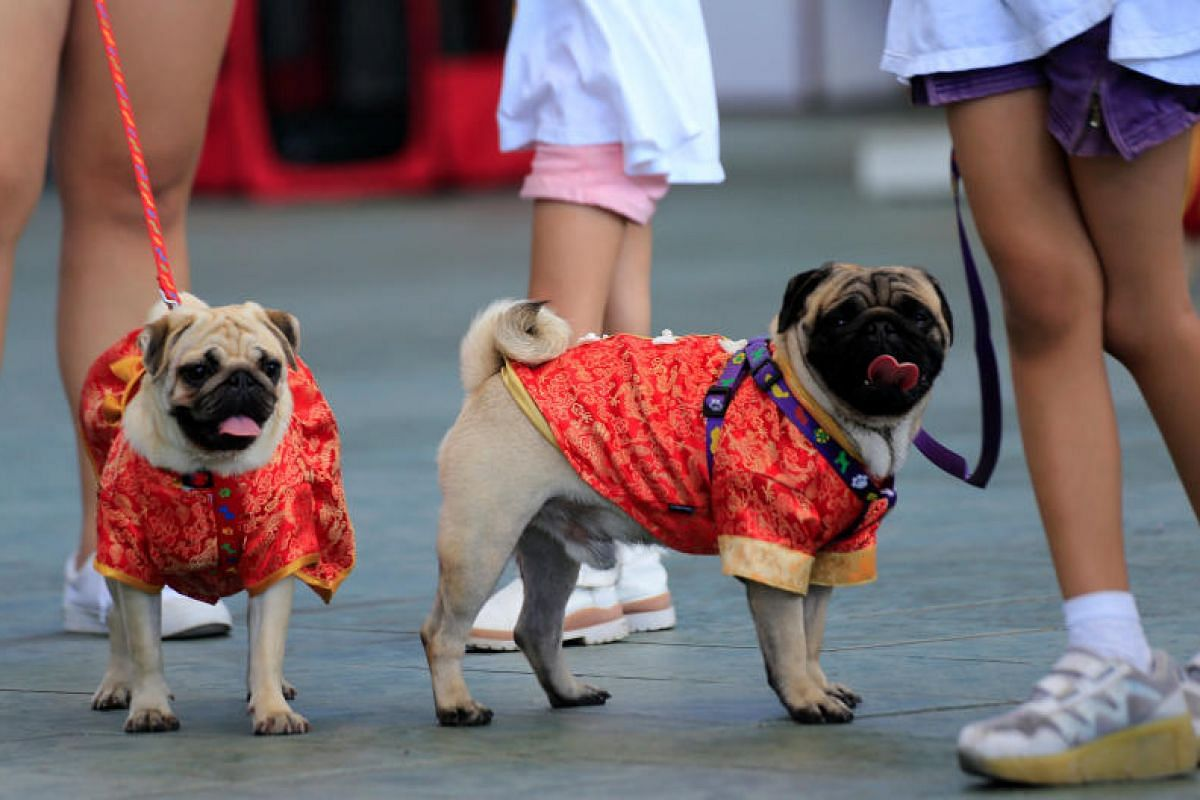 Pet lovers display their dogs wearing Chinese cheongsams during Year of the Dog celebrations for the Chinese Lunar New Year in Metro Manila, Philippines, on Feb 16, 2018.