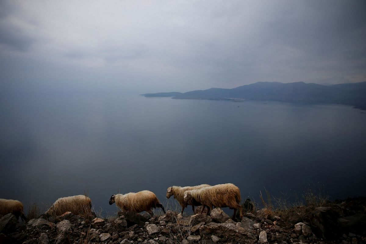 Sheep graze on a cliff near the town of Itea, Greece, on Feb 19, 2018.