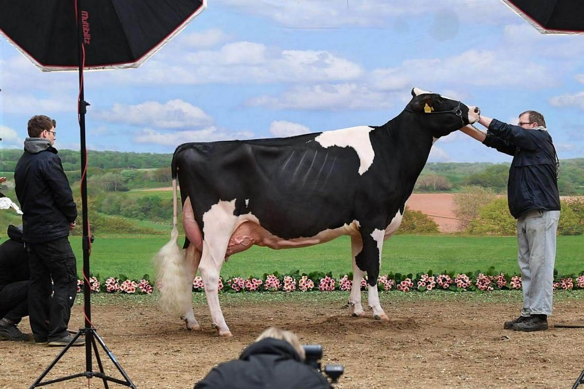 A cow is prepared for a photo shooting during the 45th edition of the Show of the Best (Schau der Besten) dairy cow beauty pageant on Feb 22, 2018, in Verden an der Aller, north-western Germany.