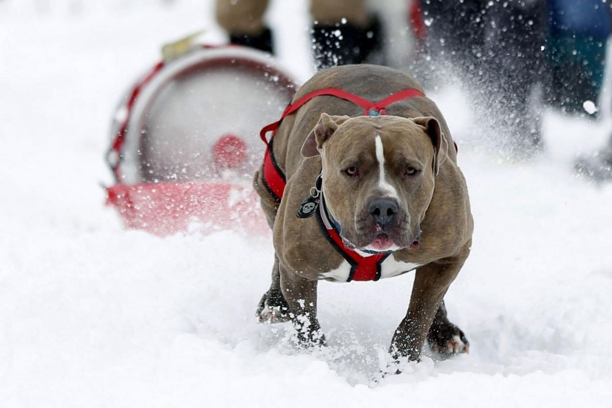 A dog named Dozer pulls a beer keg over snow during the Monster Dog Pull event on Feb 25, 2018, in Red Lodge, Montana.