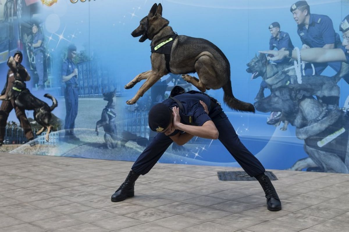 A Hong Kong Correctional Services Dog Unit (CSDU) officer demonstrates training at the CSDU training facility in Stanley, Hong Kong on Feb 27, 2018. The Hong Kong CSDU consists of 29 staff members divided across six dog teams. According to the depart