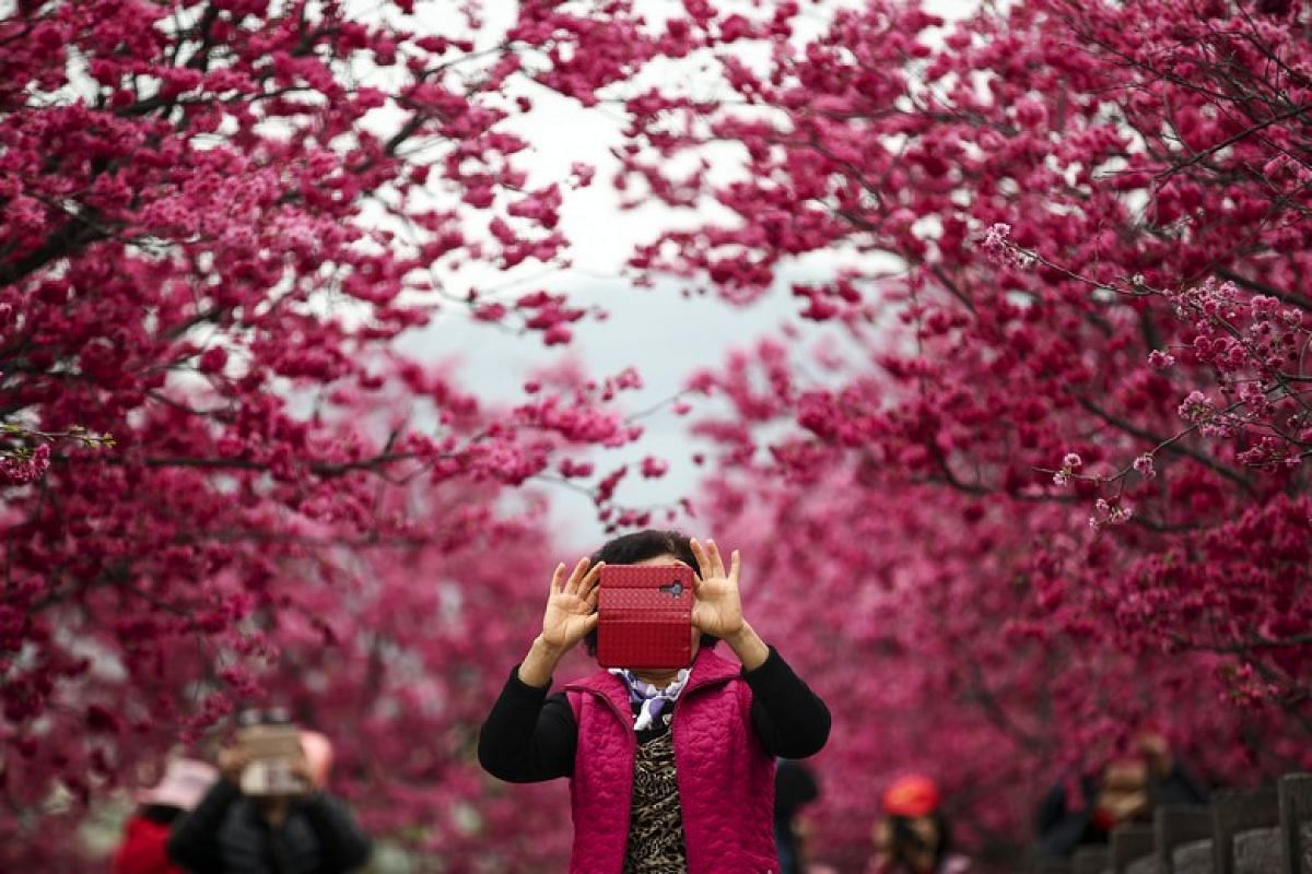 A visitor takes a photo under cherry blossoms in Taichung, Taiwan, on Feb 27, 2018. Yae-Zakura, or multi-layered cherry blossom, is a double-layer type flower, which is stronger and more firm compared to the one-layer flower.
