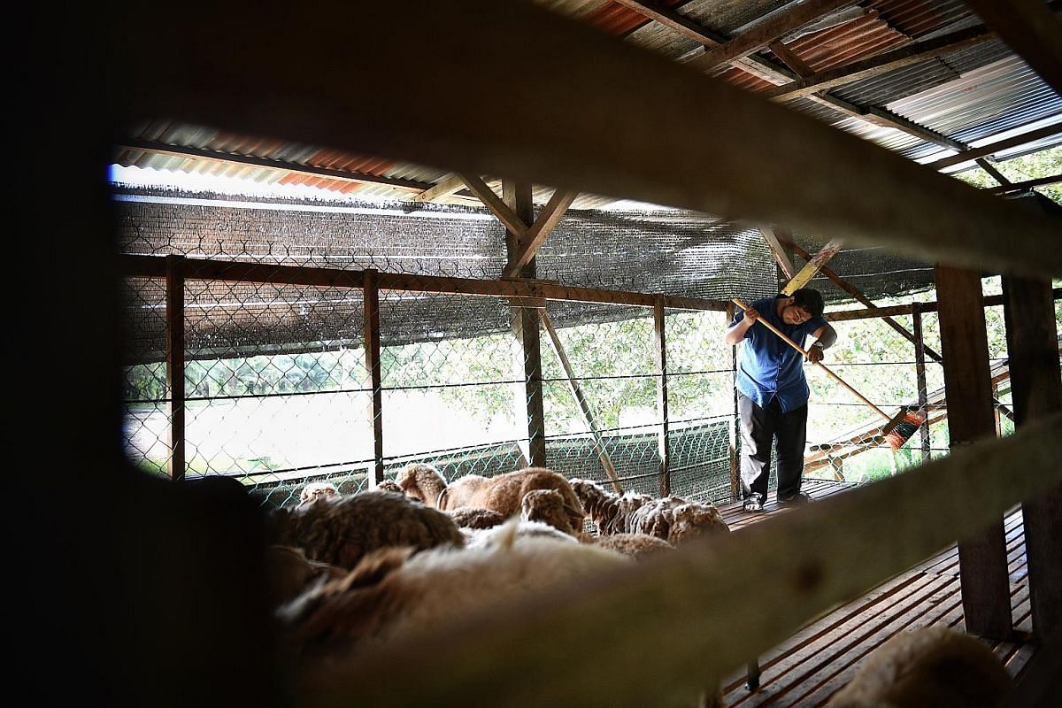 Mr Mohd Noor Ashraf Abu Bakar guides his herd of animals back to their shelter when they are done grazing in the field. The 30-year-old started Aliyah Rizq Farm in Mersing, Malaysia in 2016. The 21/2 acre farm has a number of livestock but the bulk o