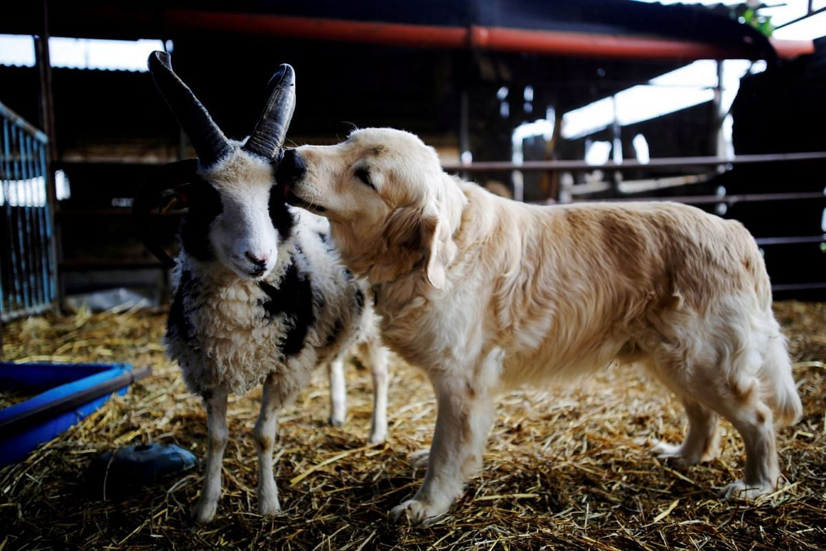A photo released on March 7, 2018 shows a dog licking the head of a Jacob sheep, in Ramot Naftali, Israel, February 21, 2018. PHOTO: REUTERS