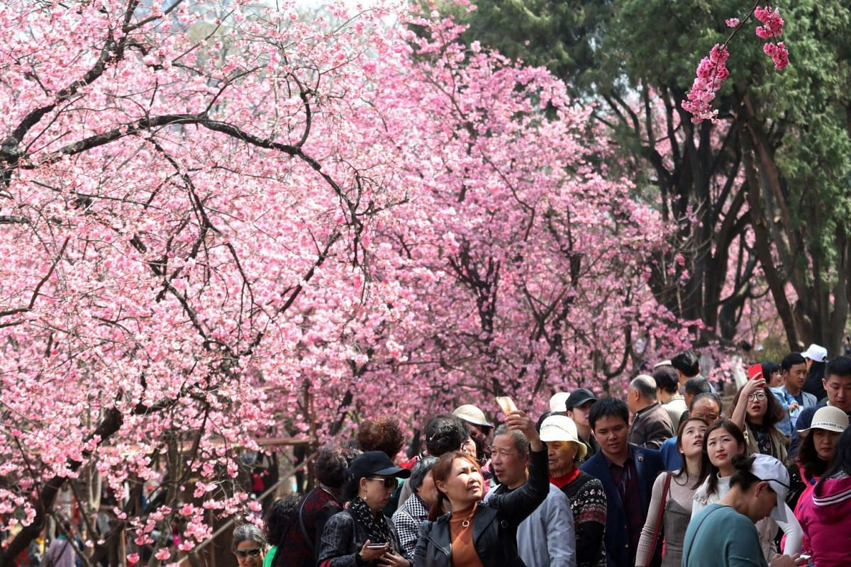 People walk under cherry blossoms in Kunming, Yunnan province, China March 7, 2018. PHOTO: REUTERS