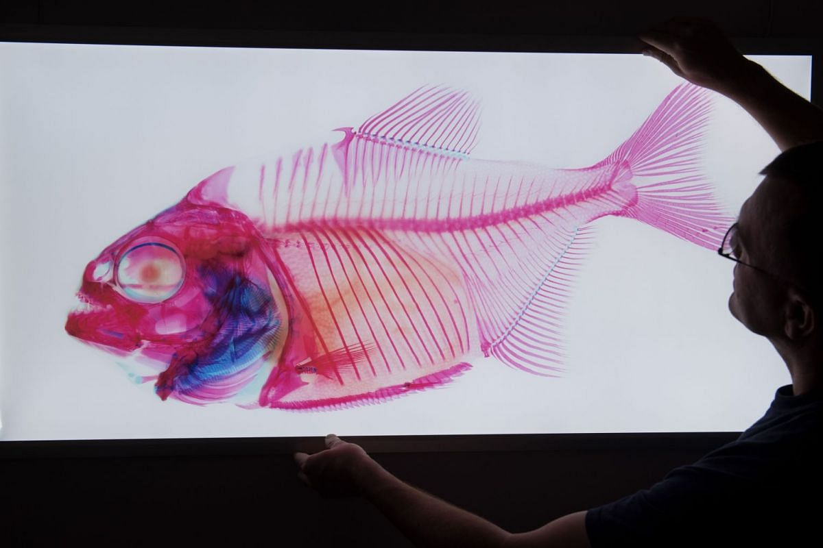 """Fish researcher Timo Moritz hangs up a picture of a piranha to be presented in a special exhibition titled """"InsightFish"""" on March 7, 2018 at the German Oceanographic Museum (Meeresmuseum) in Stralsund, northeastern Germany. PHOTO: AFP"""