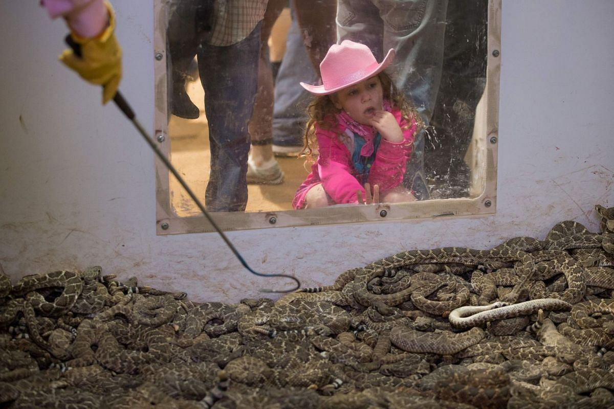 A young girl peers into a pit of rattlesnakes during the Sweetwater Rattlesnake Roundup at Nolan County Coliseum on March 10, 2018 in Sweetwater, Texas. PHOTO: AFP