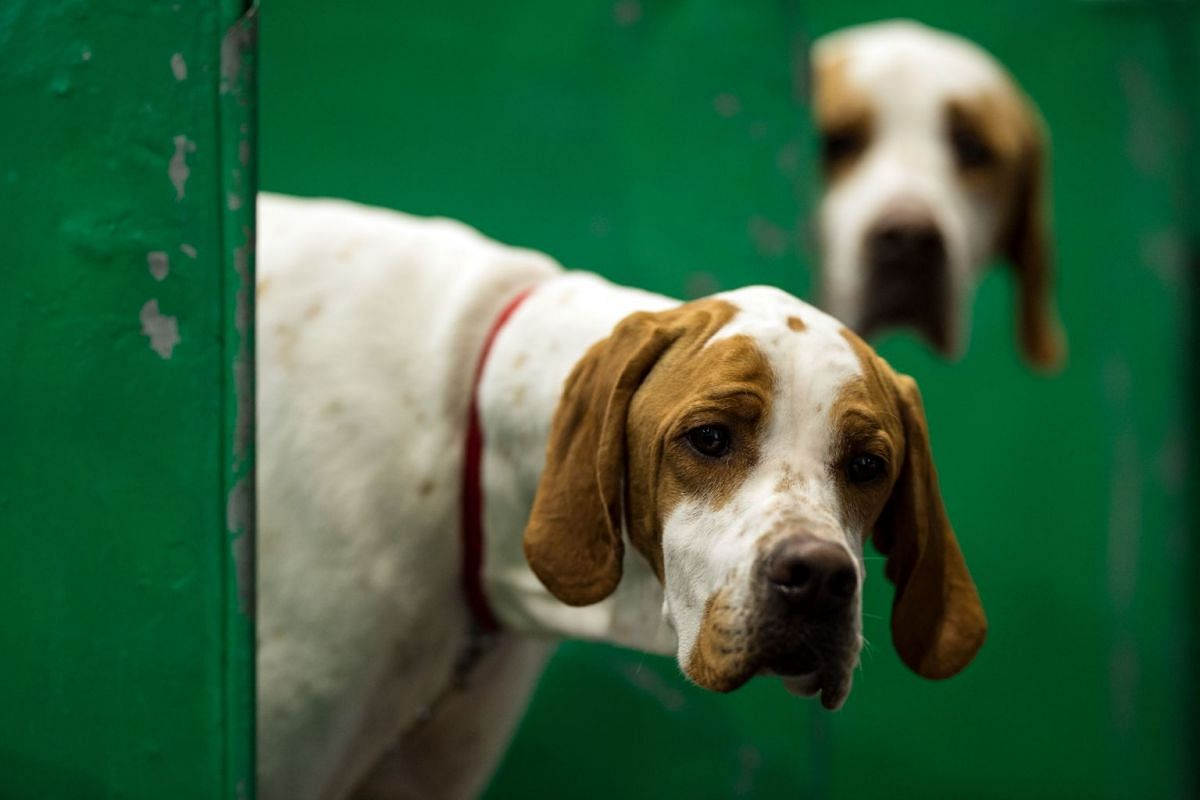 Pointer dogs look out from their pen on the final day of the Crufts dog show at the National Exhibition Centre in Birmingham, central England, on March 11, 2018. PHOTO: AFP