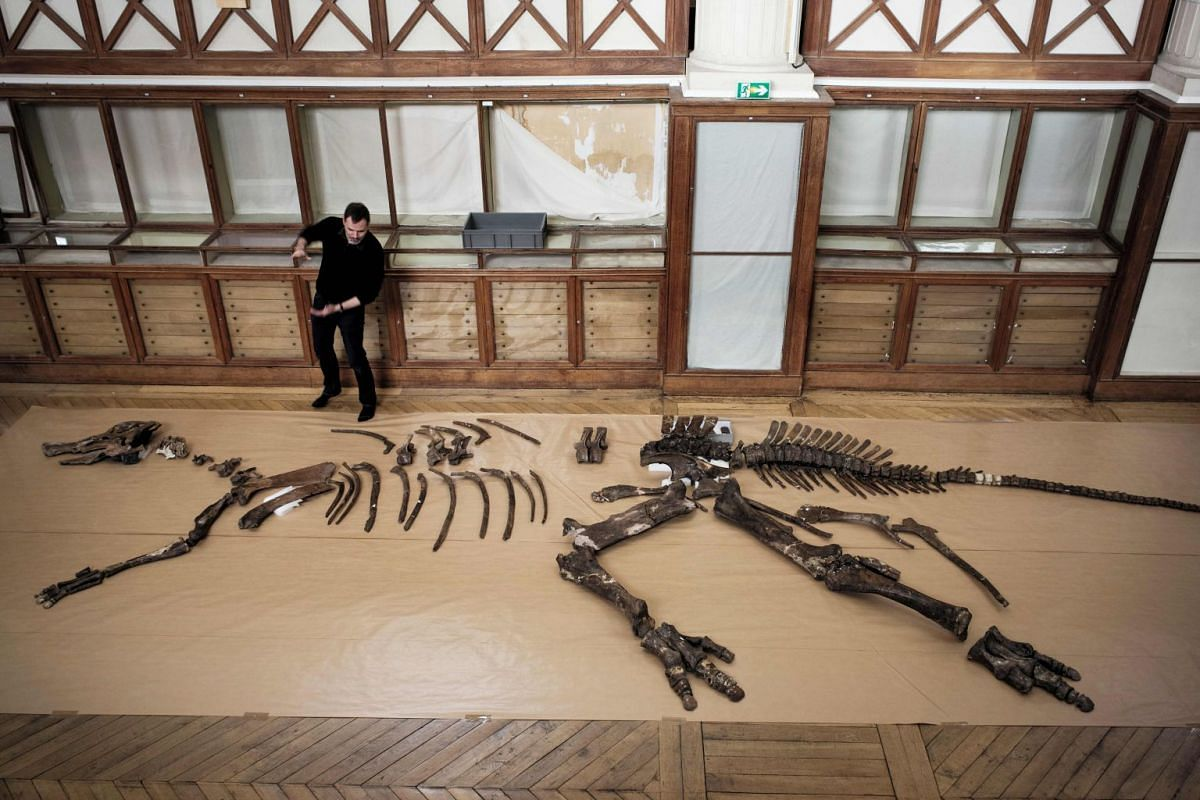 "French paleontologist Ronan Allain stands by the skeleton of an edmontosaurus regalis -a species of comb-crested hadrosaurid (duck-billed) dinosaur- being assembled to be displayed as part of the ""A T-REX in Paris"" exhibition at the paleontology gall"