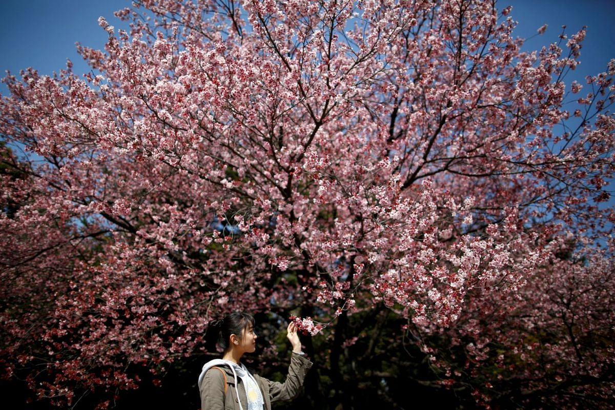 A visitor looks at early flowering Kanzakura cherry blossoms in full bloom at the Shinjuku Gyoen National Garden in Tokyo, Japan March 14, 2018. PHOTO: REUTERS