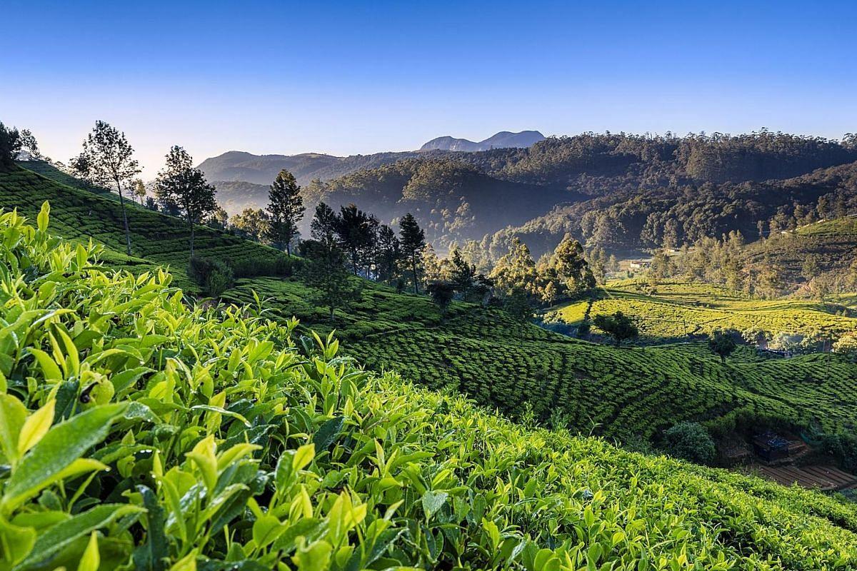 Tea plantations can be found in central Sri Lanka, around Nuwara Eliya, a former English hill station.