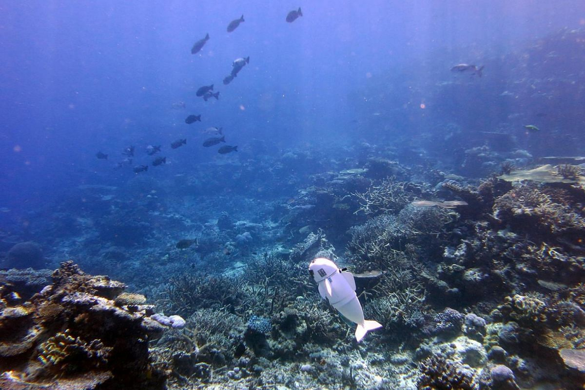 A robot fish dubbed SoFi, created by MIT's Computer Science and Artificial Intelligence Laboratory to explore marine environments, swims at the Rainbow Reef off Taveuni, Fiji.