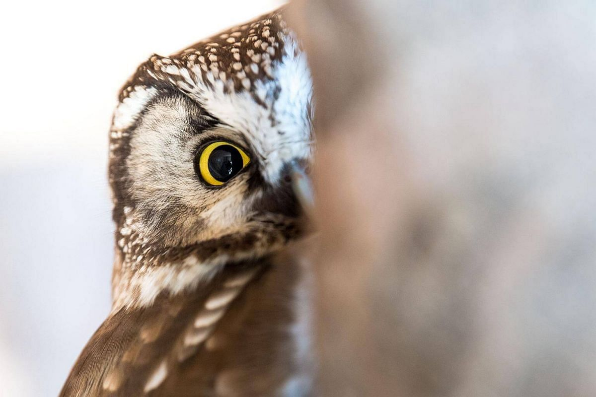 A rough-toed owl looks around in his enclosure in the animal park in Neuschoenau, Germany, on March 25, 2018.