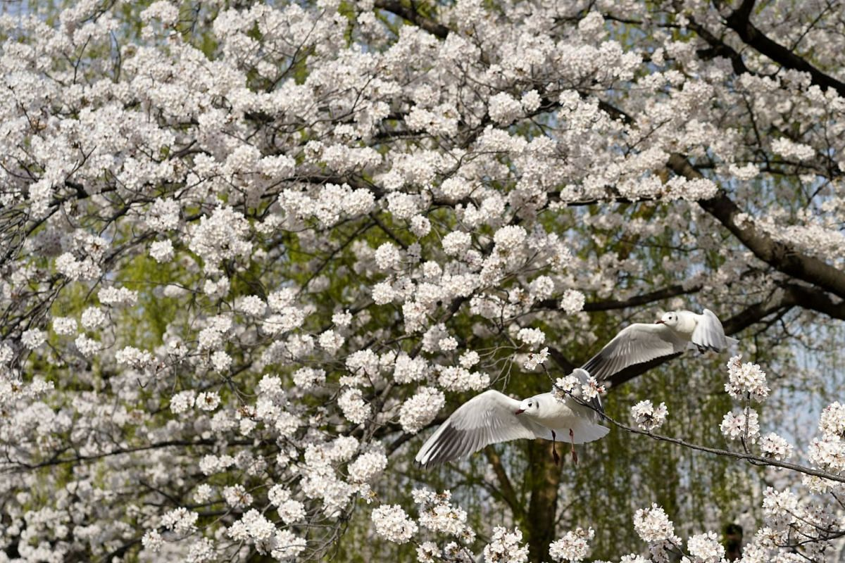 Seagulls fly under cherry blossoms in full bloom at Shinobazu pond of Ueno Park in Tokyo, Japan, on March 26, 2018.