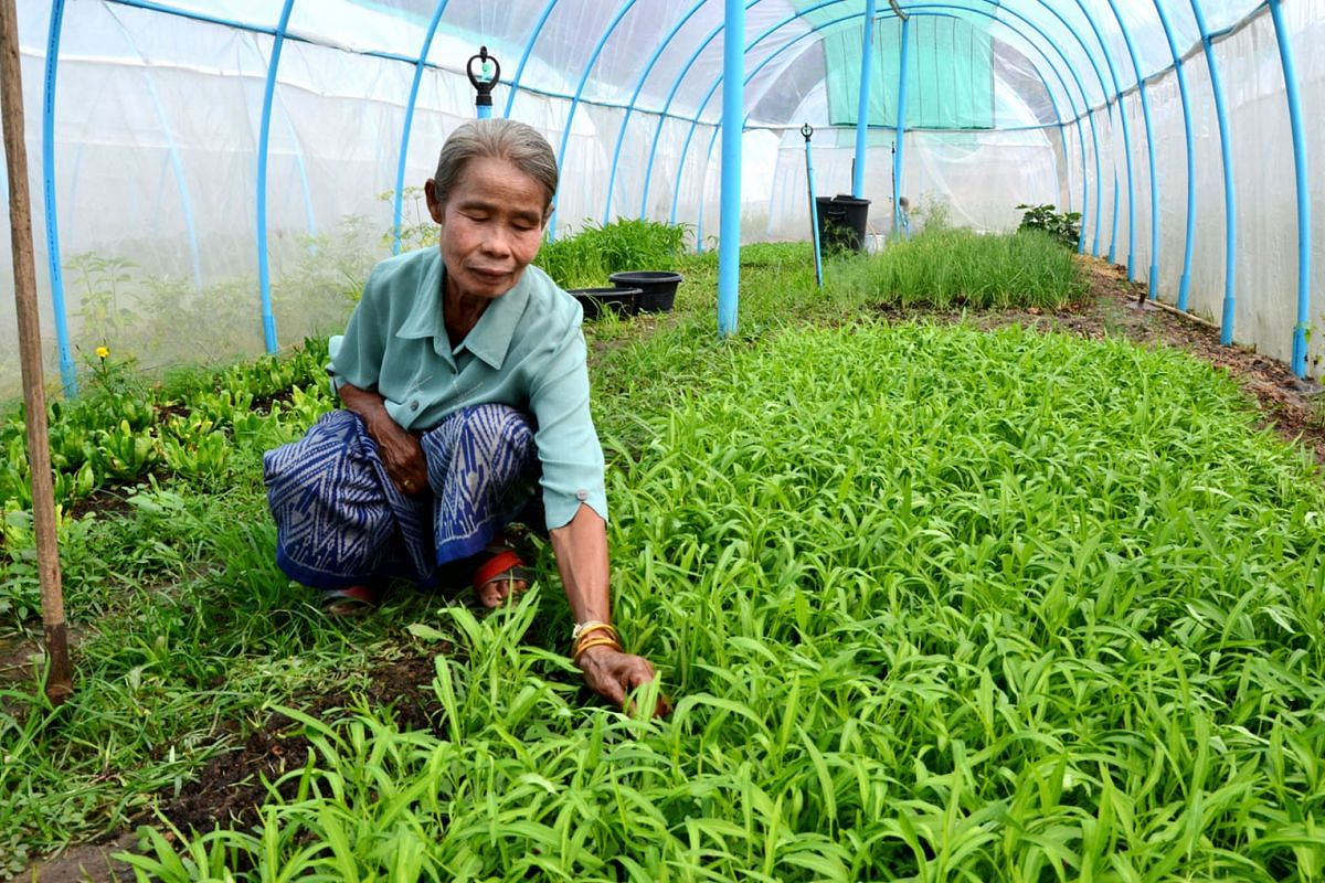 Farmer Sawang Yubonplerd, 68, who has just been trained to plant organic parsley, spring onion, tomato and morning glory, at the plot in Kalasin allotted to her by the military government. Ms Bangon Daengrat filming the process of preparing fresh fis