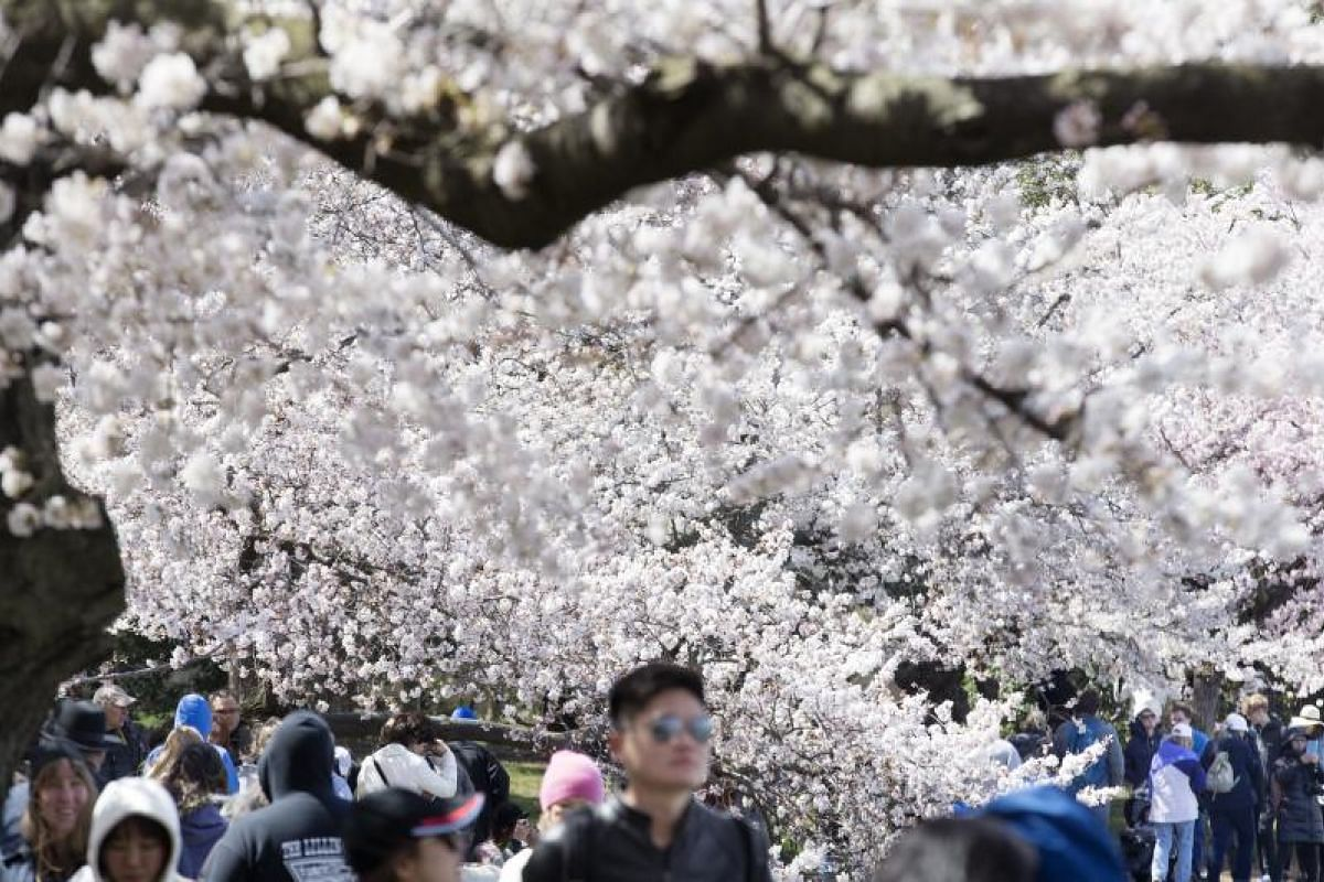 People walking beneath cherry blossoms in bloom at the Tidal Basin in Washington, DC, US, on April 5, 2018.