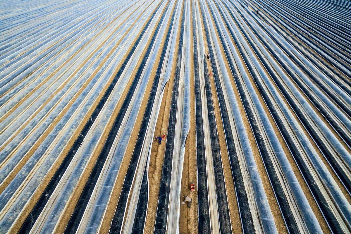 An aerial picture taken with a drone on April 10, 2018 shows workers cutting asparagus amidst foil covered rows in the southern German town of Suenching at the start of the asparagus harvest. PHOTO: AFP