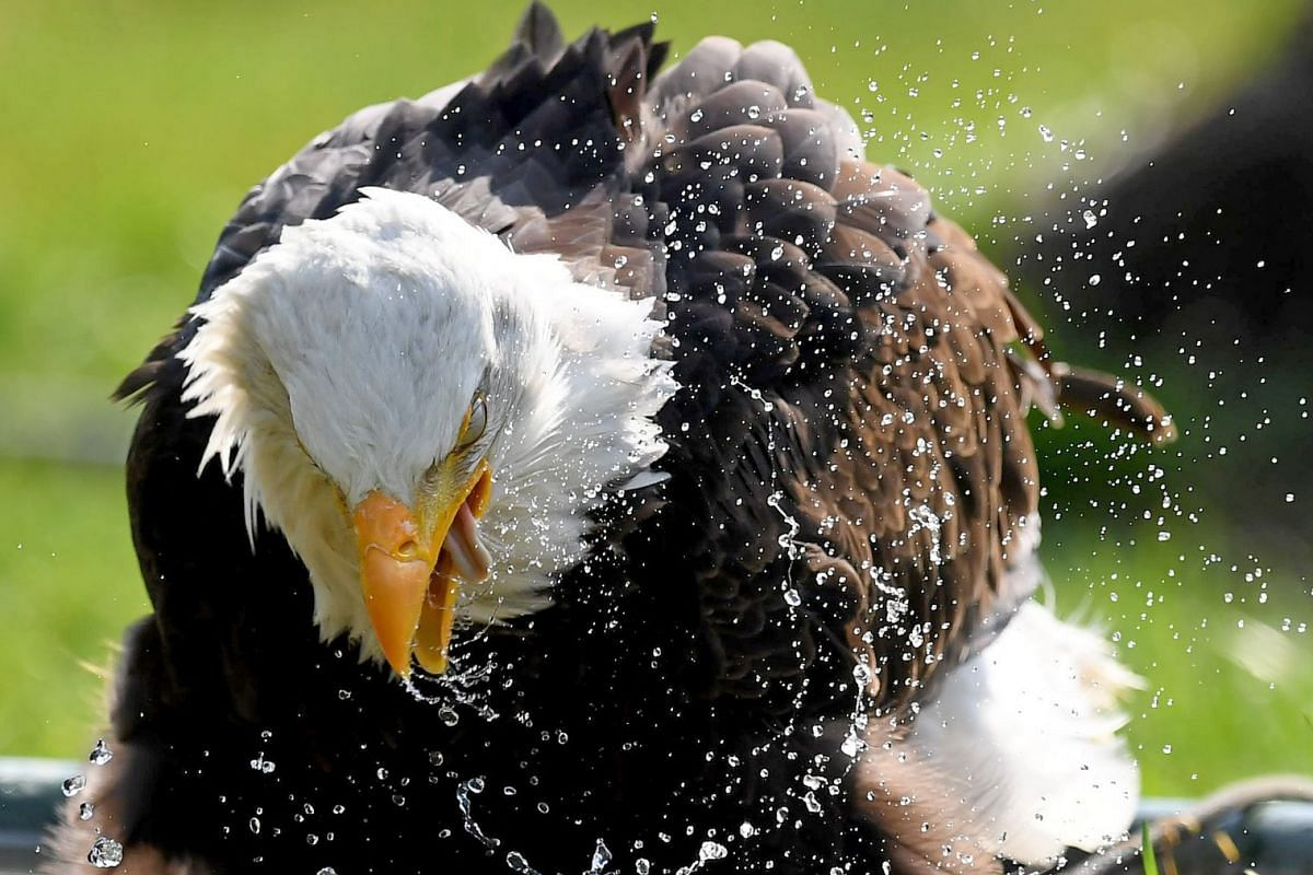 "The American Eagle ""Indiana"" bathes in its enclosure at the wisent compund in Springe, northern Germany, on April 10, 2018. PHOTO: DPA VIA AFP"