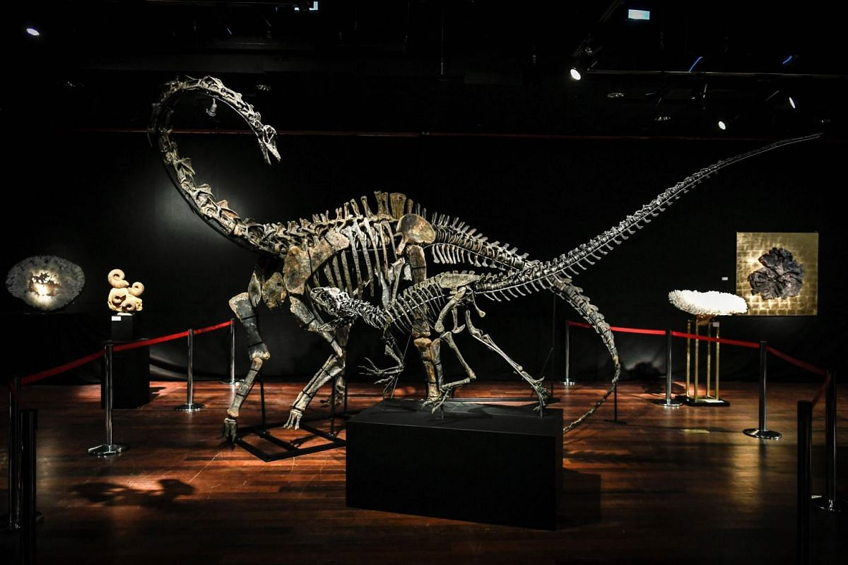 The skeletons two Jurassic age (161-145 million years) dinosaurs, a Diplodocus (back) and an Allosaurus (front) are displayed on April 6, 2018, before being auctioned on April 11 at the Drouot auction house in Paris. PHOTO: AFP