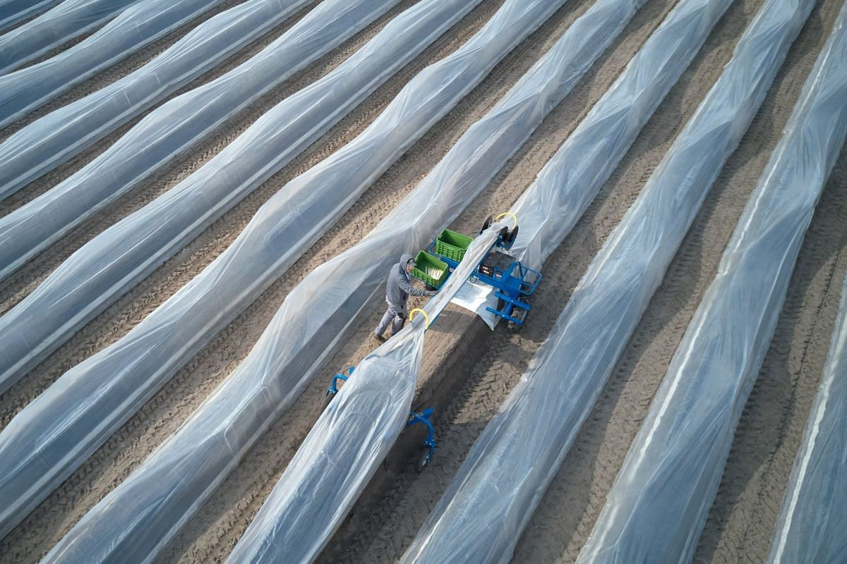 A picture taken with a drone shows an aerial view of a farmer harvesting on an asparagus farm in Beelitz, a town in Brandenburg, Germany, April 12, 2018. The asparagus season has officially started in Beelitz. PHOTO: EPA-EFE