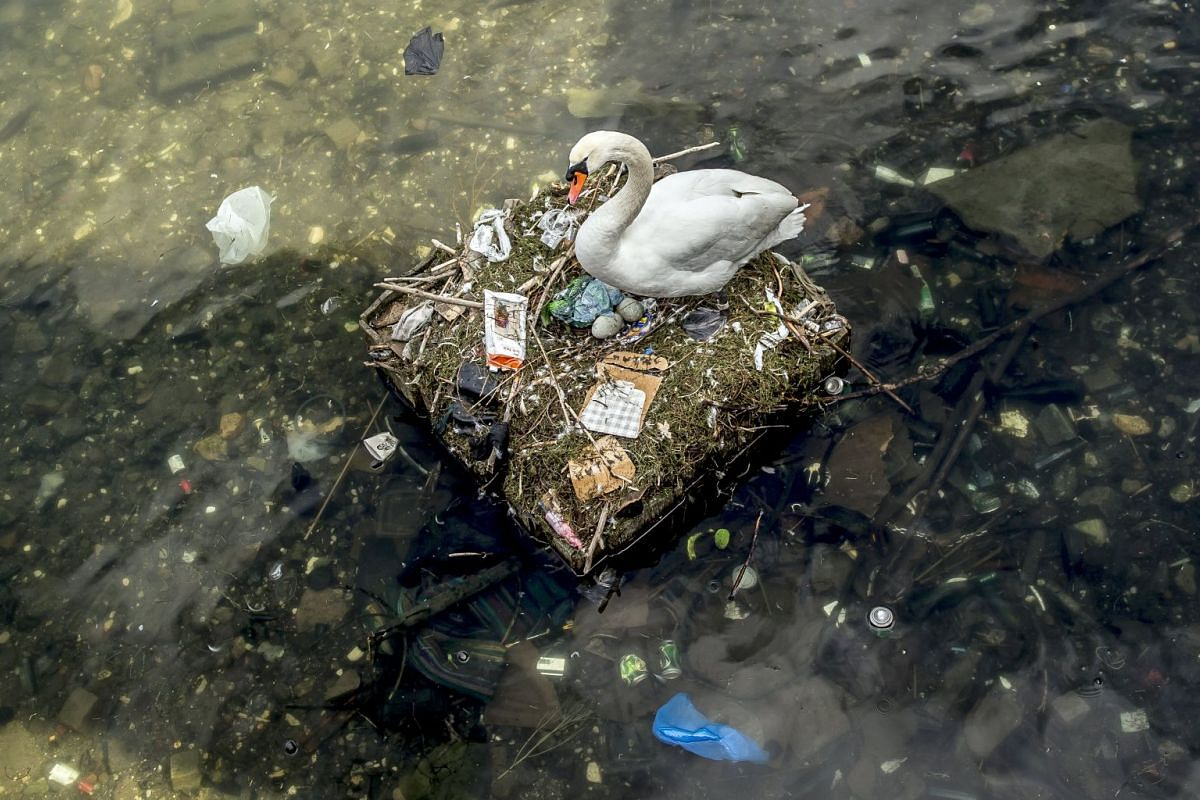 A swan is nesting in a lake near Queen Louise's Bridge in central Copenhagen, Denmark, 17 April 2018. The nest is partly made out of trash from the lake and contains several eggs. PHOTO: EPA-EFE