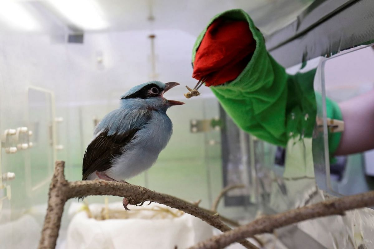 A zookeeper feeds a rare Javan green magpie chick using a glove puppet in Prague Zoo, Czech Republic, April 17, 2018. PHOTO: REUTERS