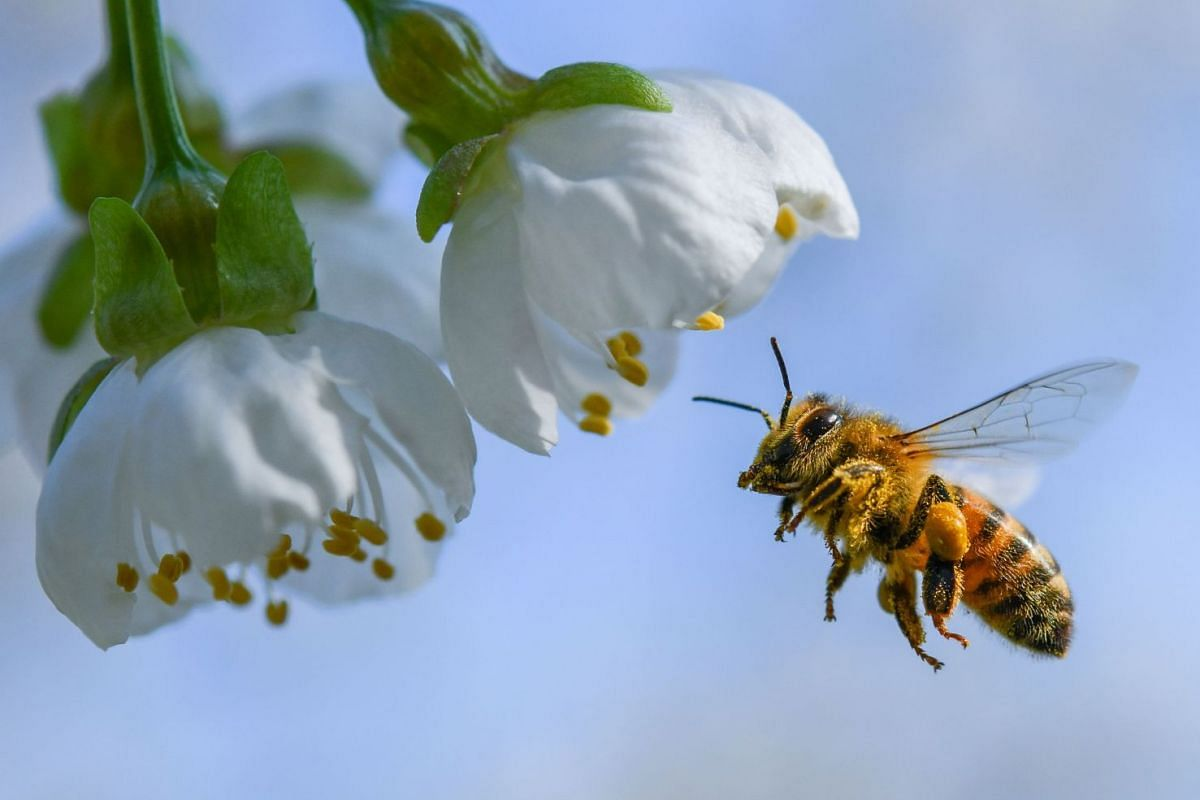 A bee collects pollen from a cherry tree standing in bloom on April 19, 2018 in Markendorf, Frankfurt an der Oder, eastern Germany. PHOTO: AFP