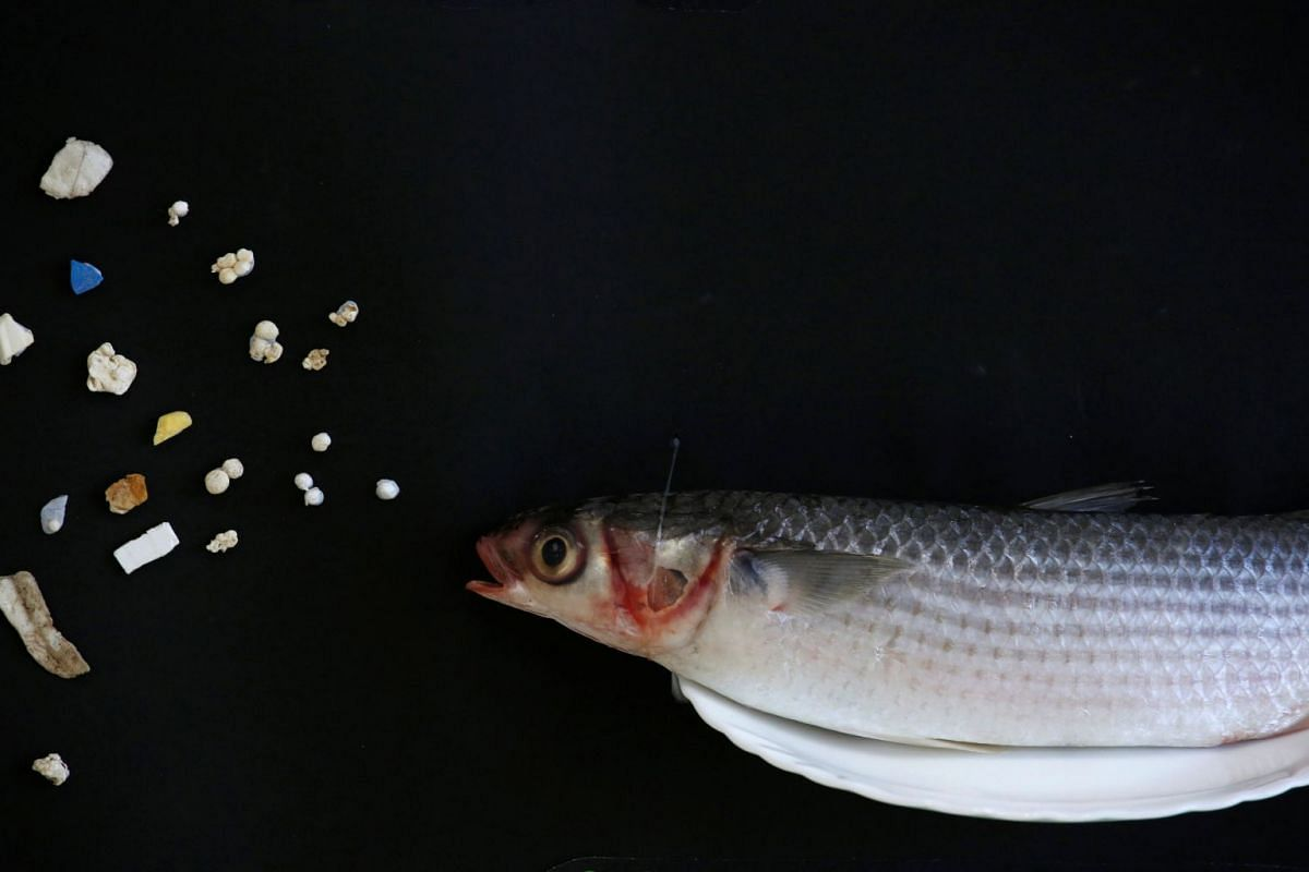 A grey mullet is shown next to microplastic found in Hong Kong waters during a Greenpeace news conference in Hong Kong, China, April 23, 2018.