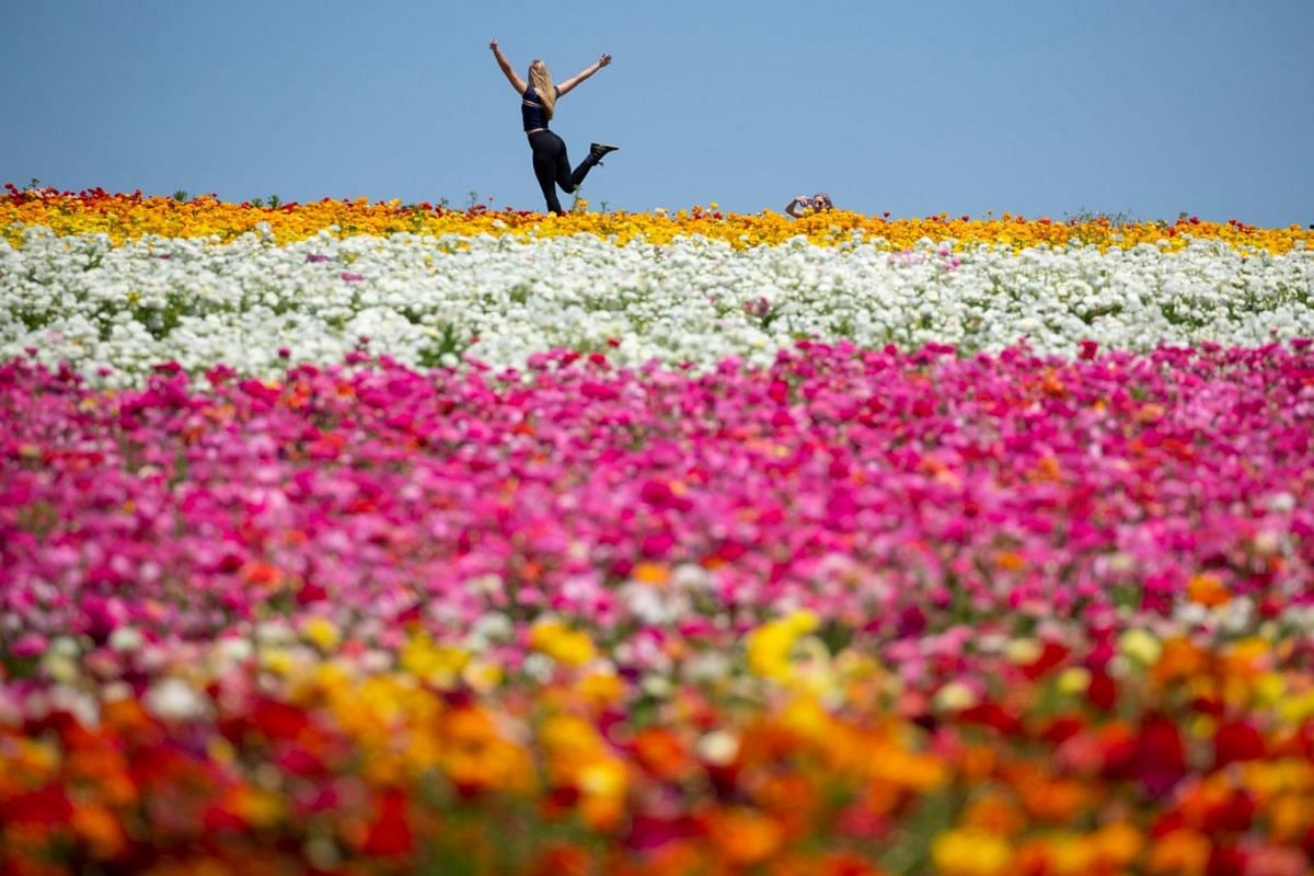 Rachel Bown of Miami Florida poses for her sister Melissa as they visit thousands of ranunculus flowers at the Flower Fields in Carlsbad, California, U.S., April 26, 2018. PHOTO: REUTERS