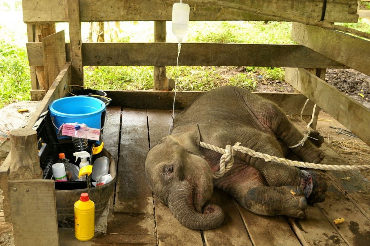A young female elephant, injured after being caught in a snare trap, receives treatment from a team of government and university veterinarians at the Saree Elephant Training Center in Saree, Aceh province, Indonesia on May 3, 2018.