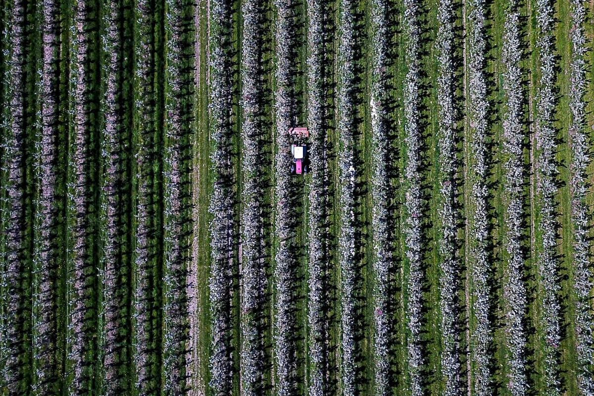 This aerial picture taken with a drone shows a tractor driving through an apple orchard in Haselau, northern Germany, on May 07, 2018. PHOTO: AFP