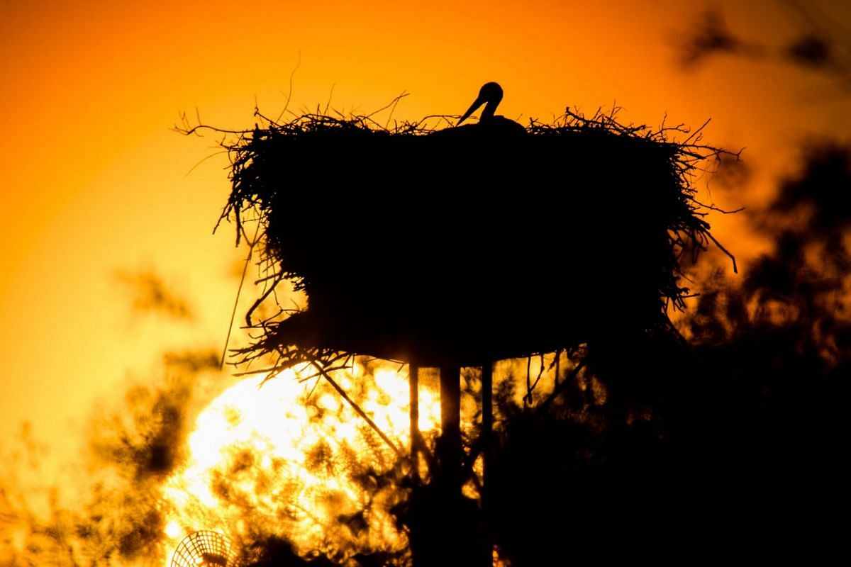 A stork rests in its nest as sun sets near Grasdorf close to Hanover, northern Germany, on May 6, 2018. PHOTO: AFP