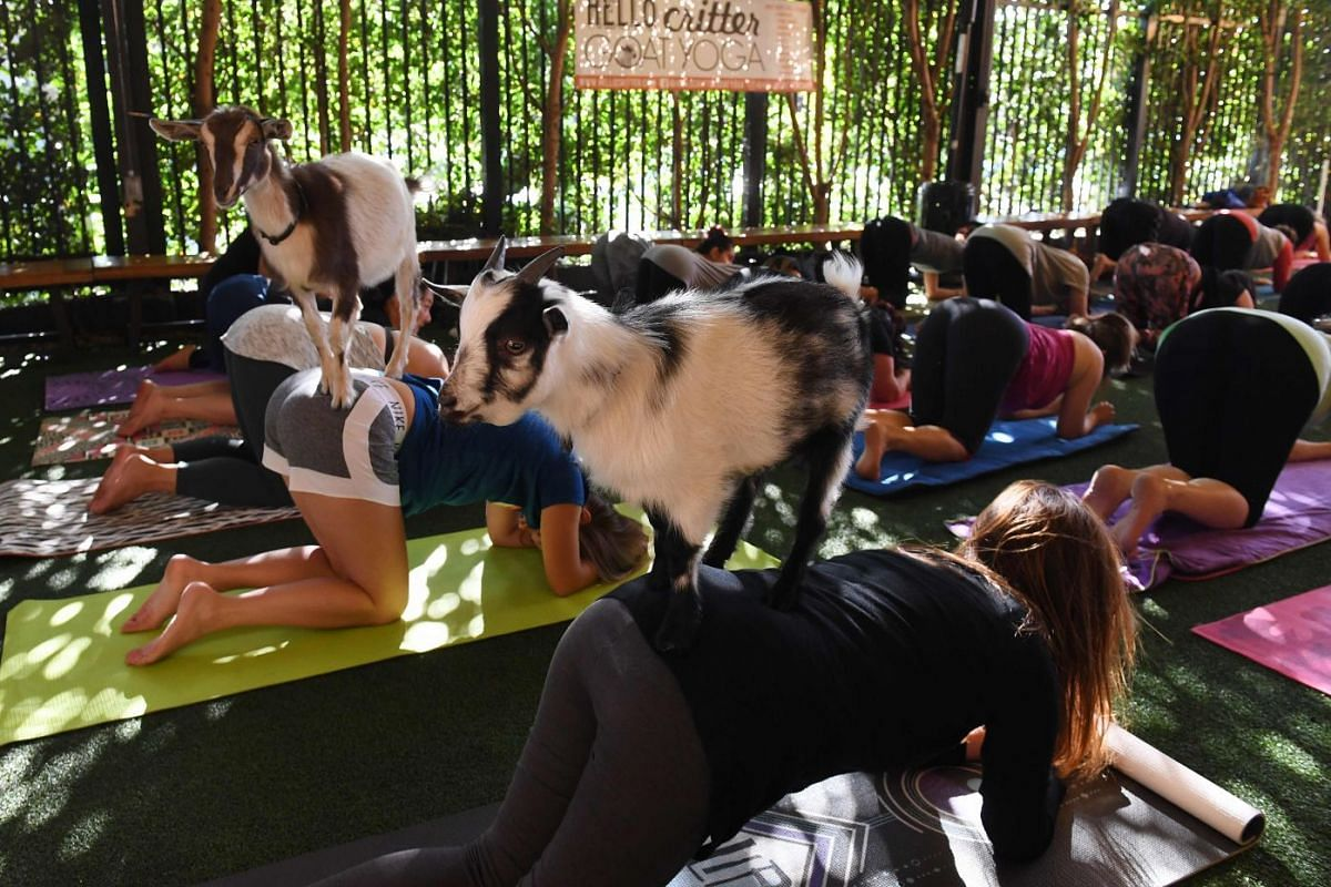 Yoga students take a class with Nigerian Dwarf goats held by the 'Hello Critter Goat Yoga' team at the Golden Road Pub in Los Angeles, California on May 7, 2018. PHOTO: AFP
