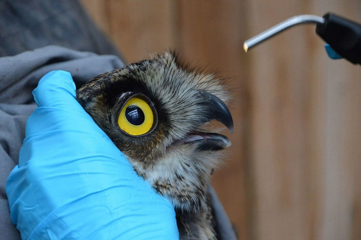 An owl getting an eye exam before being released to the wild, May 8, 2018. PHOTO: PAWS HANDOUT VIA WASHINGTON POST
