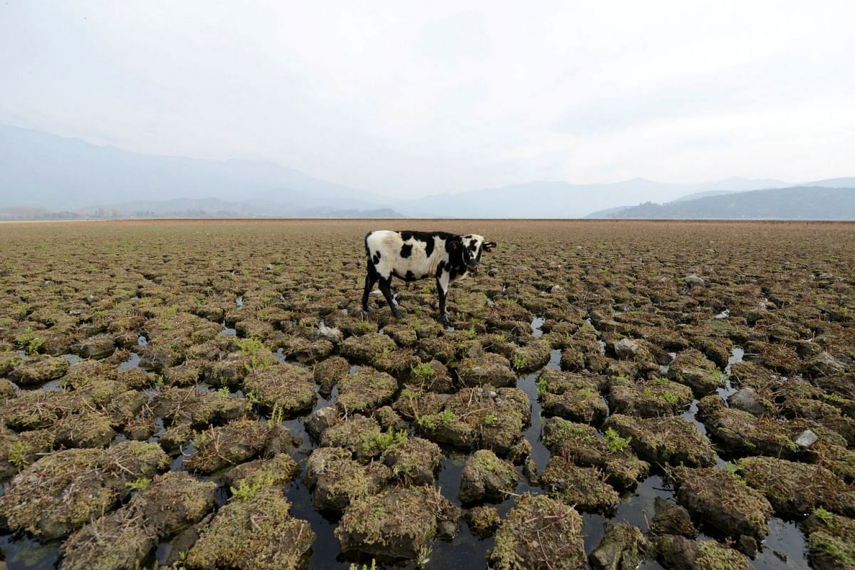 A cow is seen on land that used to be filled with water, at the Aculeo Lagoon in Paine, Chile, May 14, 2018. PHOTO: REUTERS