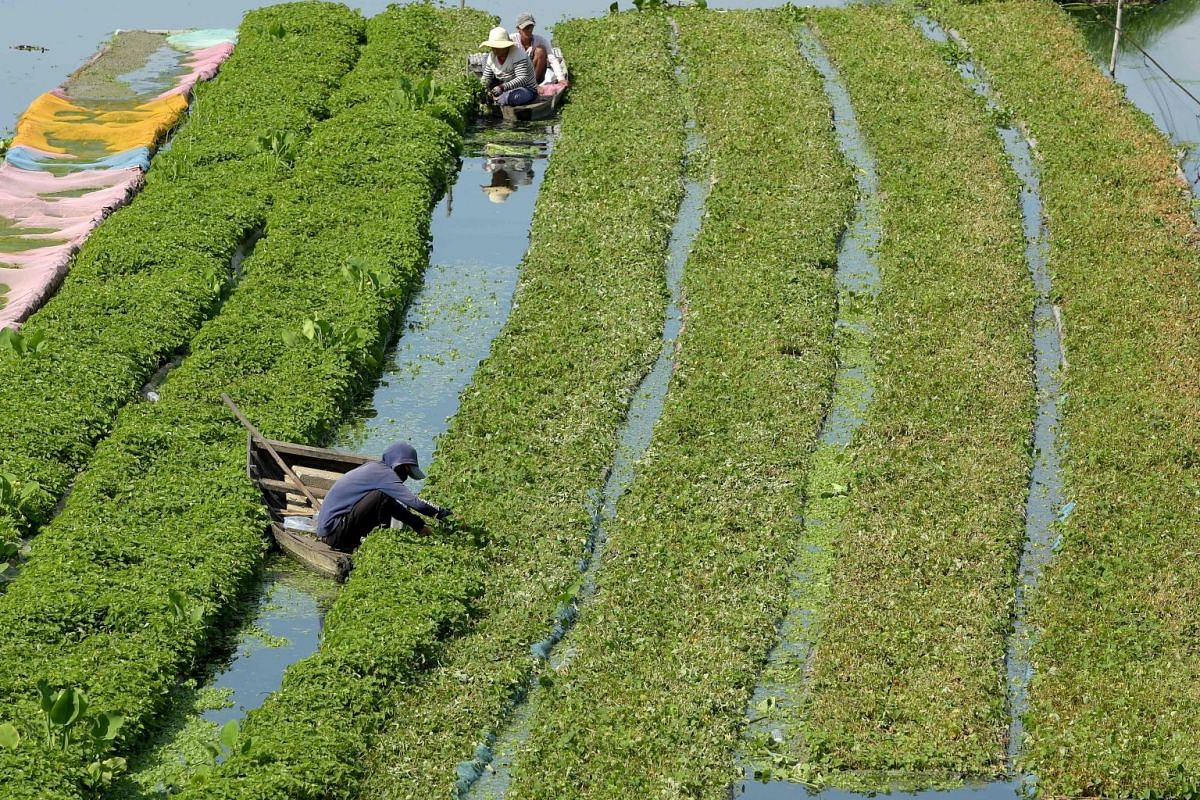 Cambodian farmers harvest morning glory at a farm in Phnom Penh on May 17, 2018. PHOTO: AFP