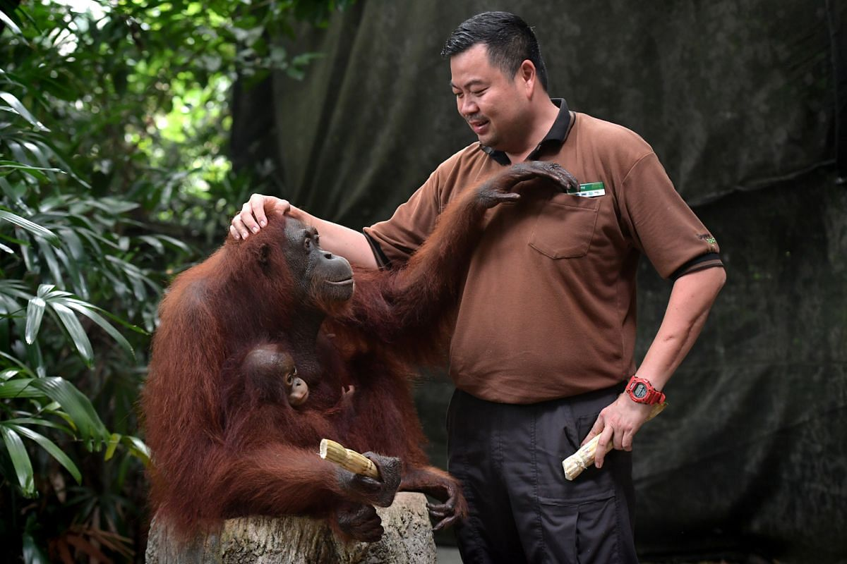 Deputy head keeper Jeremy Chew with his favourite orang utan Anita and her one-year-old offspring Khansa.