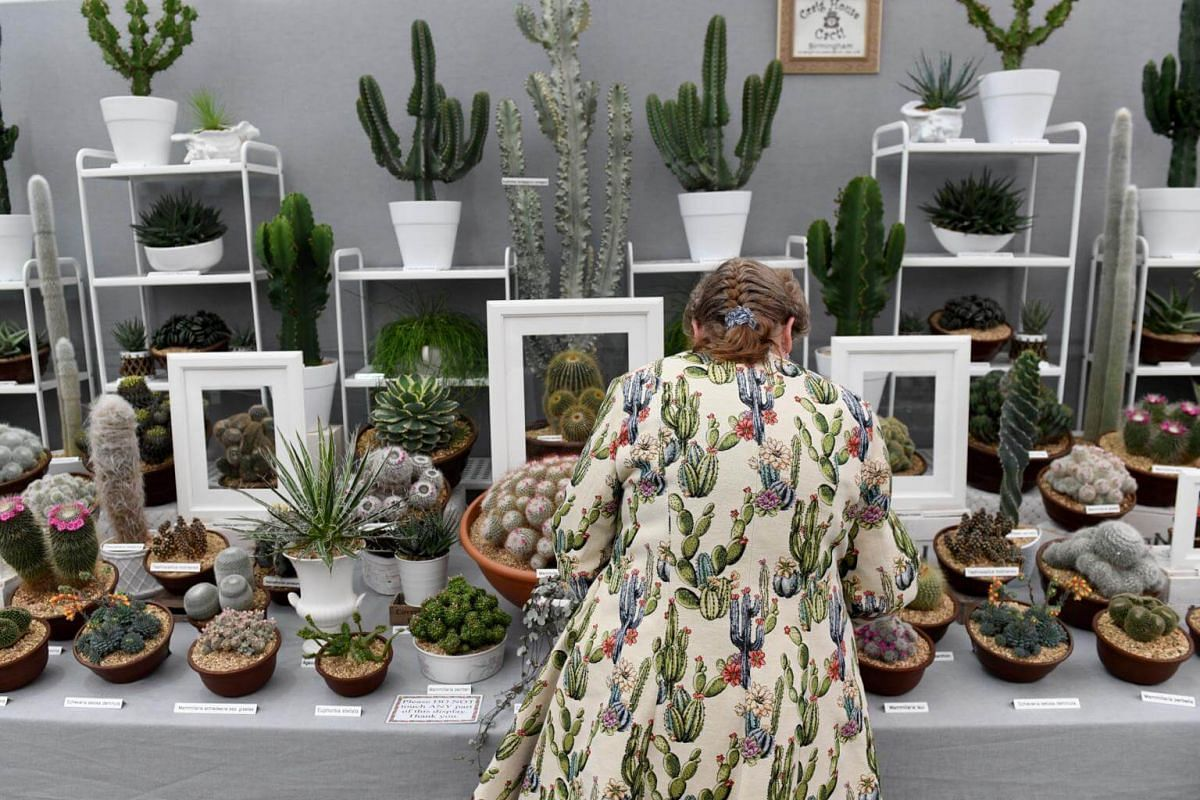 A worker puts the final touches to a cactus stand at the 2018 Chelsea Flower Show, on May 21, 2018.