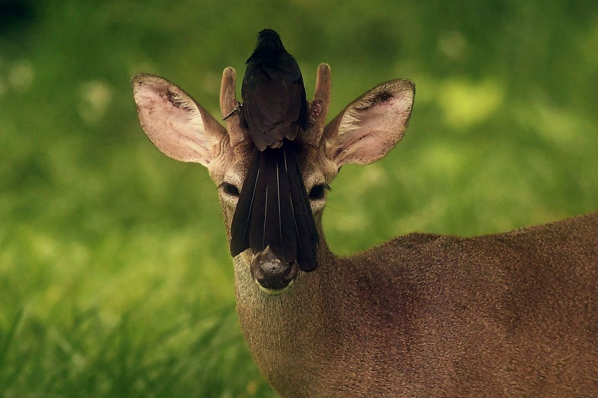 A bird rests on the head of a white-tailed deer roaming free in San Jose Villanueva, 25 km southwest of San Salvador, El Salvador, on May 21, 2018.