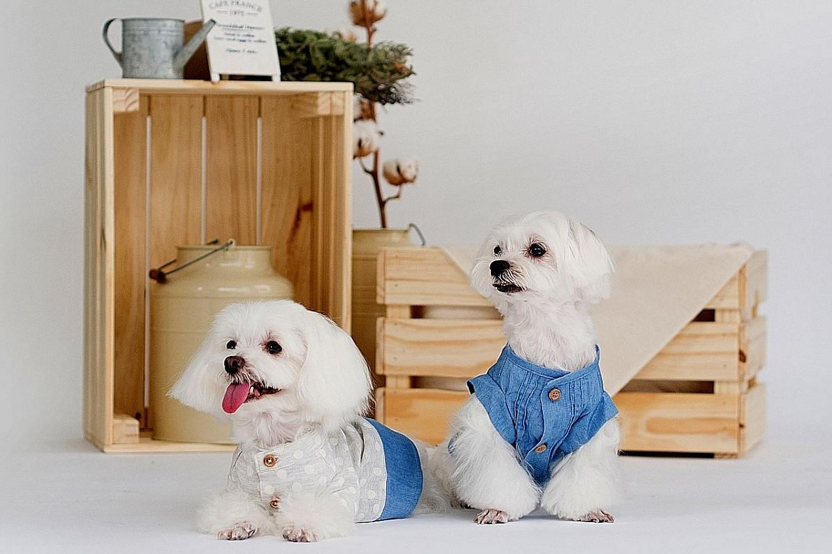 Founder and designer of The Pets Couture Sia Aiwei makes all her fashion items in a small workshop in her apartment in Marine Terrace. (Clockwise from far left) Miko, a maltipoo, in matchy-matchy outfits with her owner, Ms Kong Ee Jean; pooches in po
