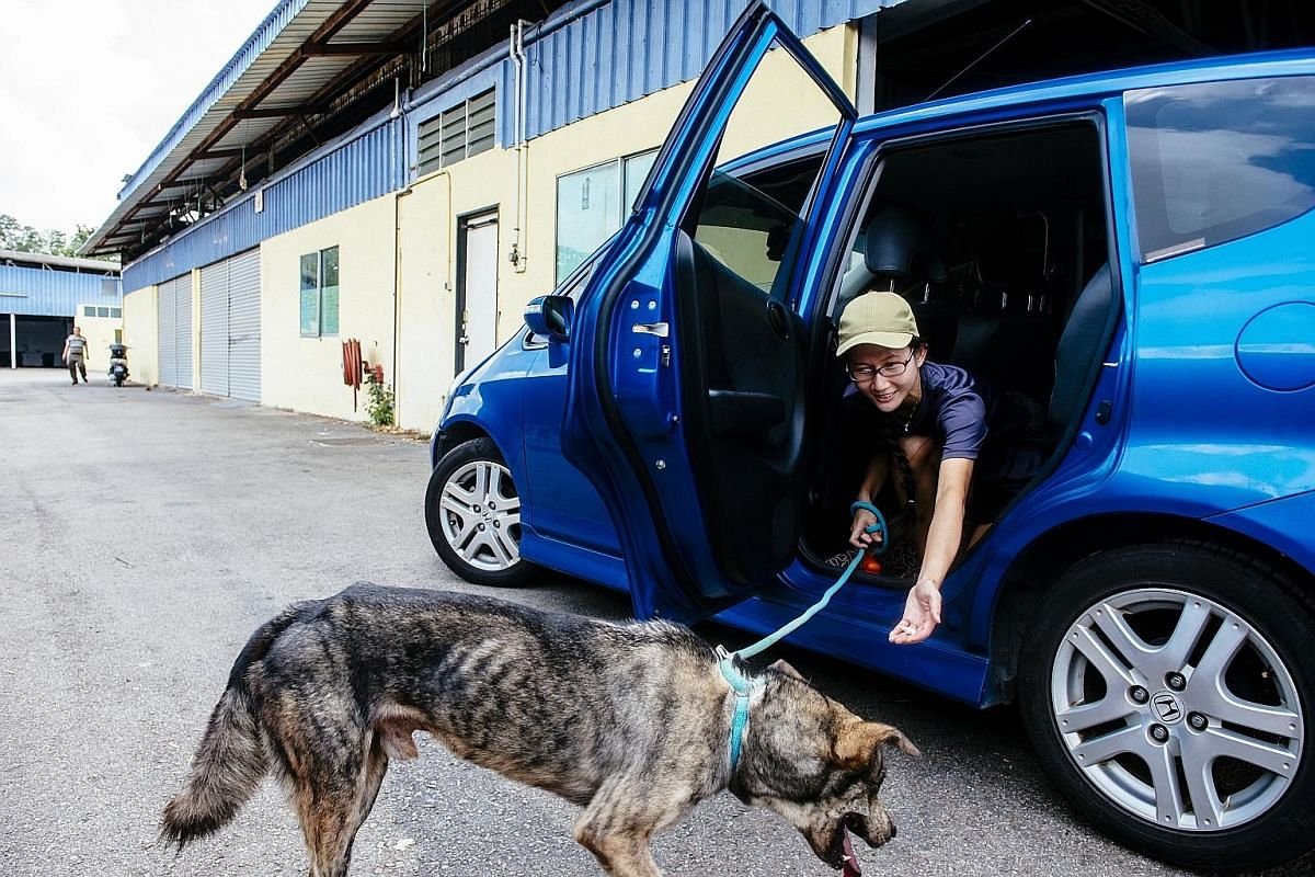 A volunteer calming a dog before entering an enclosure at one of the new units occupied by SOSD at The Animal Lodge on the first day of the move. Several dogs had difficulties getting used to the new environment. SOSD shelter manager Kieran Kua (from