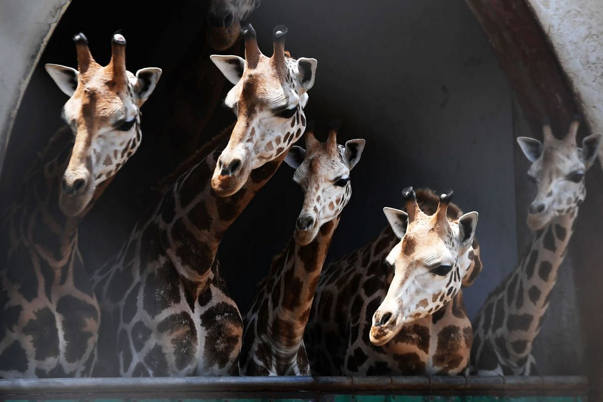 Giraffes look on from their enclosure as a newly born giraffe calf with its mother is separated from others at the Alipore Zoological Garden, in Kolkata on June 7, 2018. PHOTO: AFP