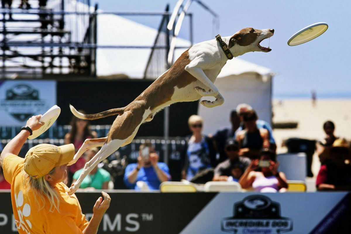 Wendi Faircloth and her dog Enoch in the 'Freestyle Flying Disc' competition during the Purina Pro Plan Incredible Dog Challenge at Huntington Beach, California on June 8, 2018. PHOTO: AFP