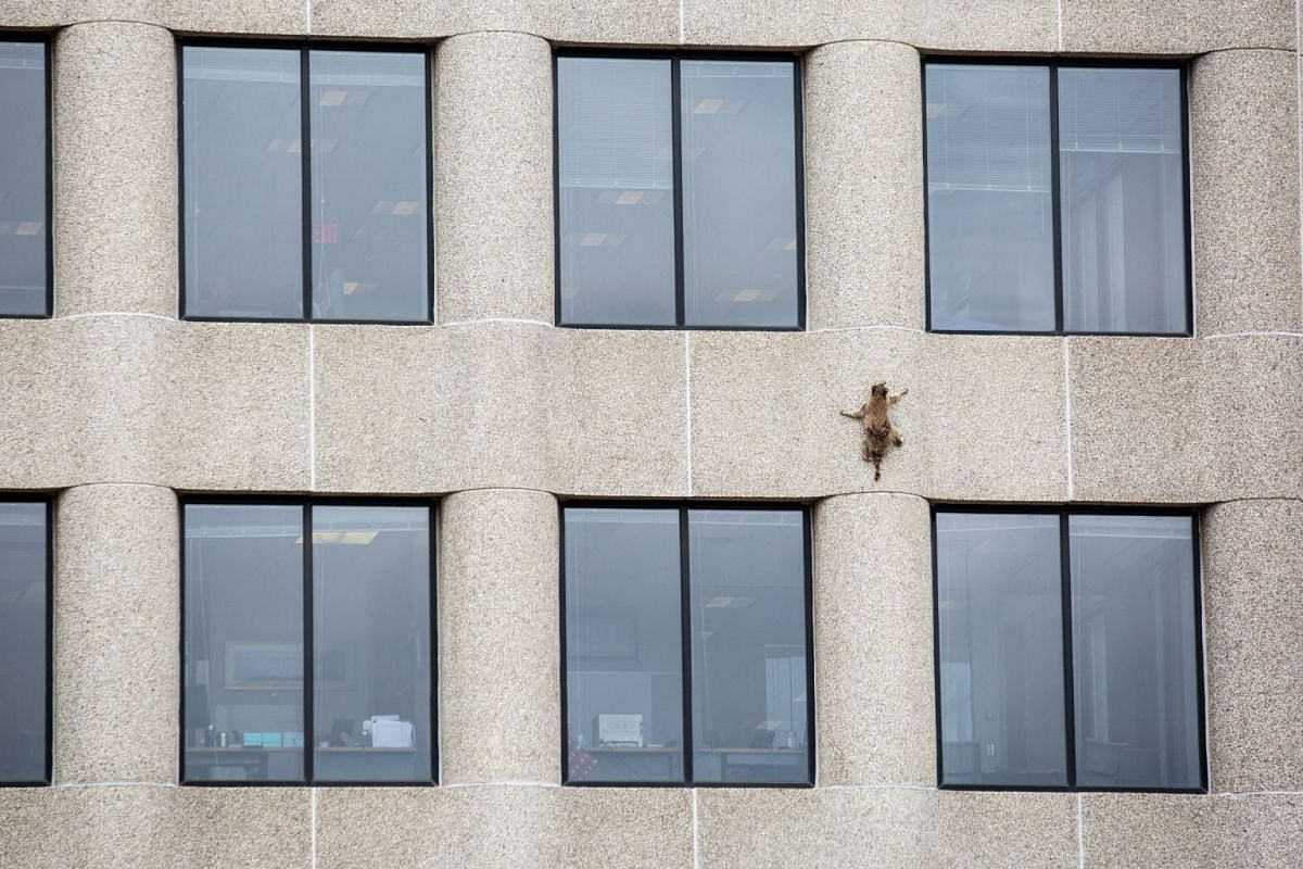 A raccoon scurries up the side of the UBS Plaza building in St. Paul, Minnesota, U.S., June 12, 2018, in this image obtained from social media. PHOTO: MPR NEWS VIA REUTERS