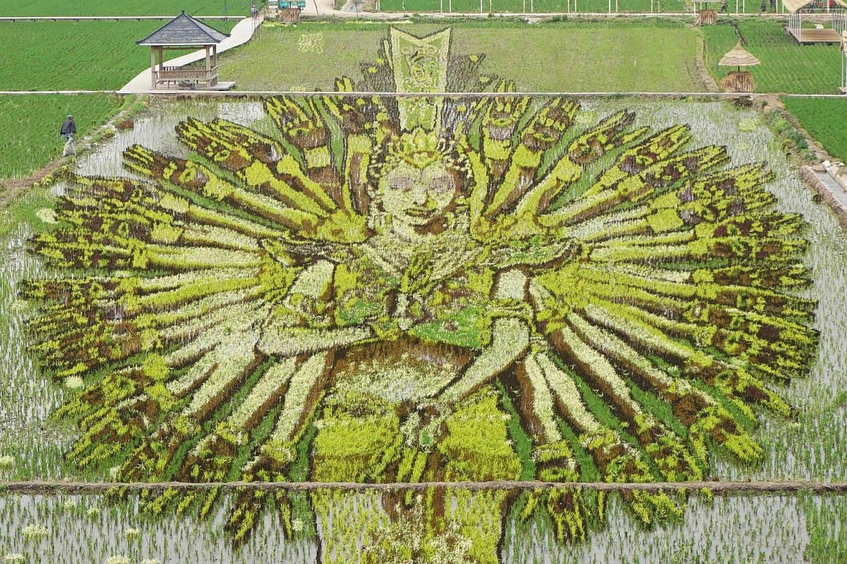 """This photo taken on June 16, 2018 shows an image of a """"thousand-hand Bodhisattva"""" created using different varieties of rice in a paddy in Shenyang in China's northeast Liaoning province."""
